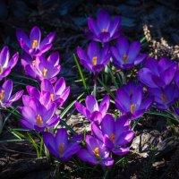 Вот и у нас крокусы зацвели. Значит и к нам весна пришла! :: Андрей Нибылица