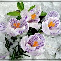 Капризная весна. :: Ольга Митрофанова