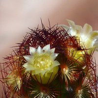 кактус в цвету. :: Пётр Беркун