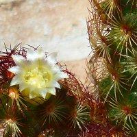 цветок кактуса. :: Пётр Беркун