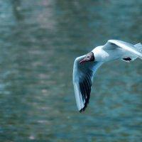 Речная чайка :: Alexandеr P