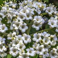 гибридная калина цветёт :: Георгий А