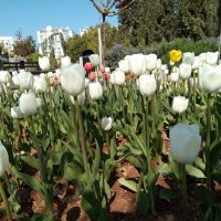 Тюльпаны :: Giant Tao /