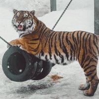 Амурский тигр Тамерлан :: Макс Беккер