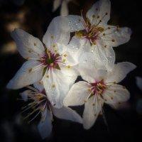 Алыча цветёт :: Валерий Ткаченко