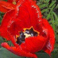 тюльпаны :: tina kulikowa