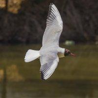 чайка :: Петр Беляков