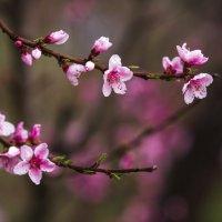 Не пропусти цветение персиковых садов. А еще лучше, приходи завтра на мой воркшоп по фотографии) :: Алексей Латыш