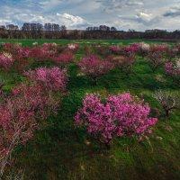 Какие сады вы любите - старые и заброшенные или новые и ухоженные? :: Алексей Латыш