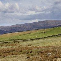 Шотландии без овечек не бывает! :: Galina