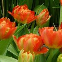 Тюльпаны :: Лидия Бусурина