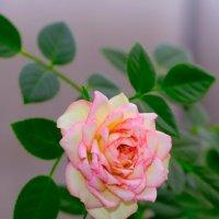 Домашняя роза :: Илья