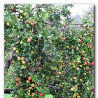 Яблоня под дождем :: Наталья