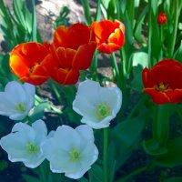 Тюльпаны белын и красные. :: Наталья Цыганова