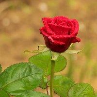 Весенняя роза :: Светлана