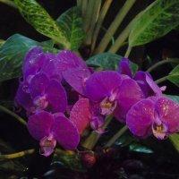 Орхидея Фаленопсис :: Наталья Цыганова