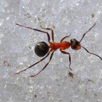 Весенний муравей снега не боится! :: Андрей Заломленков