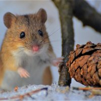 Полевая мышь(Apodemus agrarius) :: Иван