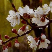 Цветение абрикоса. :: Nata