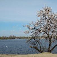 ...и одинокий лебедь белый скользит по глади голубой... :: Тамара Бедай
