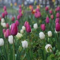 Тюльпановй рай :: Асенька Ломакина