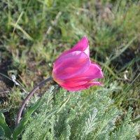 Тюльпан в степи. :: Виктор