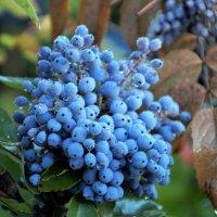 Плоды магонии. :: Наташа С