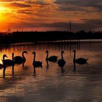 Лебеди в закатном солнце :: Вячеслав Побединский