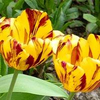 тюльпаны :: Sergej