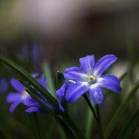 Первоцветы :: gribushko грибушко Николай
