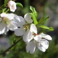 Черемуха, сирень, цветы в садах… любовью наполняют наши души... :: Татьяна Смоляниченко