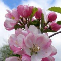 Яблонька цветет :: valeriy khlopunov