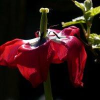 цветение умирает, жизнь продолжается :: Heinz Thorns