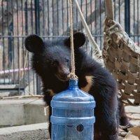 Гималайский медведь :: Владимир Габов