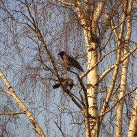 Ворона весной :: Андрей Лукьянов