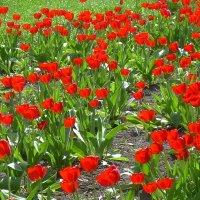 Время тюльпанов :: татьяна