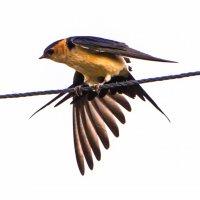 ласточка породувка перьев :: Адик Гольдфарб
