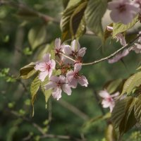 Цветение сакуры в Аптекарском :: marmorozov Морозова