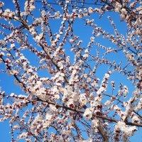Весеннее цветение :: Наталья Красильникова