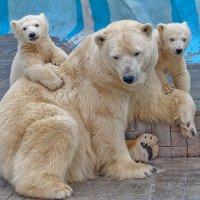 Медведи. :: Виктор Шпаков