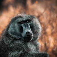 Спрятавшись от жары...Бабуин... Кения! :: Александр Вивчарик