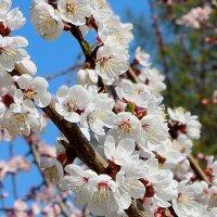 Слива в цвету :: Надежд@ Шавенкова