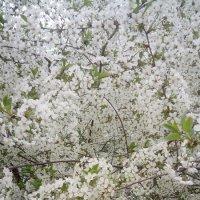 Цветет вишня! :: Serg