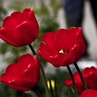 Тюльпаны :: Валерий