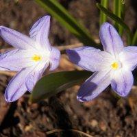 Голубые звёзды весны :: Регина Пупач