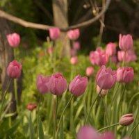 По весне один маленький дворик заливает тюльпановое море :: Елена (Птичка Э)