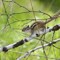 Этот маленький зверёк,  Юркий, очень быстрый,  По валежнику бежит,  Бурундук отлично.   Автор Леонов :: Солоненко Лидия