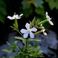 Цветы :: Валентин Семчишин