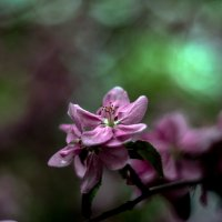 Pink apple :: Олег Шендерюк