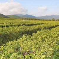 чайная плантация :: ольга хакимова